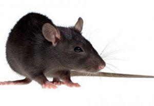 Chuột – Nguyên nhân chính làm hư hỏng máy cắt decal